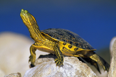 Yellow-bellied Slider (Trachemys scripta scripta) turtle, North America