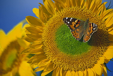 American Painted Lady (Cynthia virginiensis) butterfly on Common Sunflower (Helianthus annuus), New Mexico  -  Tim Fitzharris