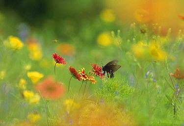 Butterfly feeding on nectar in a field of Indian Blanket (Gaillardia pulchella) and Evening Primrose (Oenothera hookeri) flowers, Texas  -  Tim Fitzharris