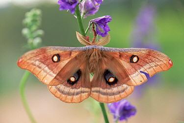 Polyphemus Moth (Antheraea polyphemus) on Delphinium, New Mexico  -  Tim Fitzharris