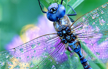 Southern Hawker Dragonfly (Aeshna cyanea) close up, moisture on wings, New Mexico  -  Tim Fitzharris