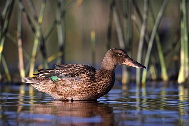 Northern Shoveler (Anas clypeata) female wading in pond, Alberta, Canada  -  Tim Fitzharris