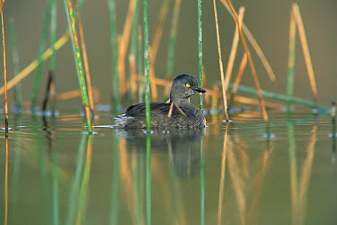 Least Grebe (Tachybaptus dominicus) floating among reeds, North America  -  Tim Fitzharris