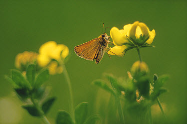Least Skipper (Ancyloxypha numitor) butterfly on Common Birdsfoot Trefoil (Lotus corniculatus), Ithaca, New York  -  Tim Fitzharris