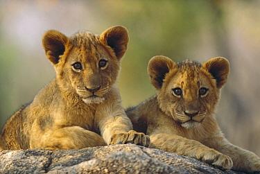 African Lion (Panthera leo) cubs, Hwange National Park, Zimbabwe