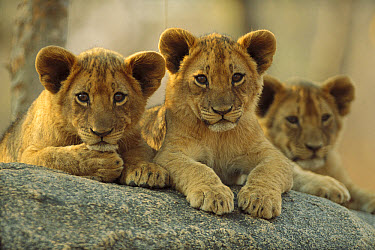 African Lion (Panthera leo) three cubs resting on a rock, Hwange National Park, Zimbabwe  -  Tim Fitzharris