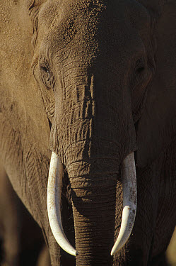 African Elephant (Loxodonta africana) male portrait with long tusks, Kenya  -  Tim Fitzharris