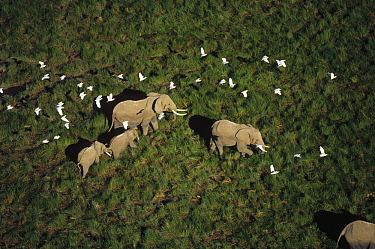 African Elephant (Loxodonta africana) parents and two calves with Cattle Egret (Bubulcus ibis) flock, Kenya