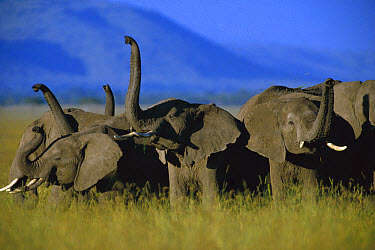 African Elephant (Loxodonta africana) herd sniffing the air, Kenya  -  Tim Fitzharris