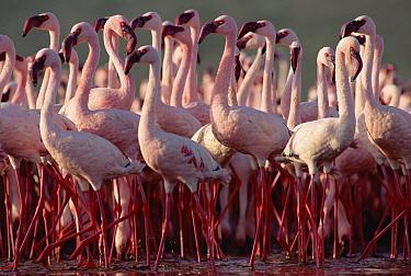 Lesser Flamingo (Phoenicopterus minor) flock, Kenya  -  Tim Fitzharris