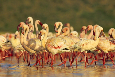 Lesser Flamingo (Phoenicopterus minor) group parading in a mass courtship dance, Lake Bogoria, Kenya