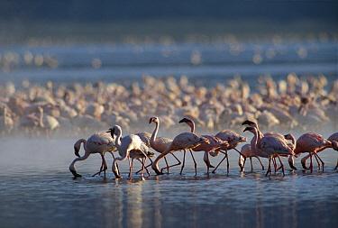 Lesser Flamingo (Phoenicopterus minor) group feeding enmass in the shallow waters of Lake Bogoria, Kenya  -  Tim Fitzharris
