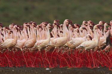 Lesser Flamingo (Phoenicopterus minor) in a mass courtship display, Kenya  -  Tim Fitzharris