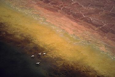 Lesser Flamingo (Phoenicopterus minor) flock of four flying over soda flats at the edge of Lake Magadi, Kenya  -  Tim Fitzharris