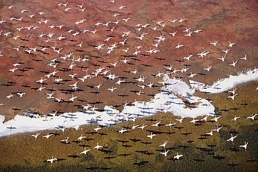 Lesser Flamingo (Phoenicopterus minor) group flock flying over soda flats at the edge of Lake Magadi, Kenya  -  Tim Fitzharris