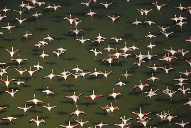 Lesser Flamingo (Phoenicopterus minor) flock flying, Kenya  -  Tim Fitzharris