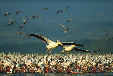 Great White Pelican (Pelecanus onocrotalus) pair with a flock of feeding Lesser Flamingo (Phoenicopterus minor) group, Kenya  -  Tim Fitzharris