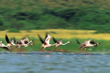 Lesser Flamingo (Phoenicopterus minor) flock taking flight from the surface of a lake, Kenya  -  Tim Fitzharris
