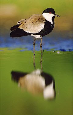 Spur-winged Plover (Vanellus spinosus) with its reflection at waterhole, Kenya  -  Tim Fitzharris
