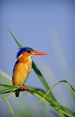 Malachite Kingfisher (Alcedo cristata) perching on reeds, Kenya  -  Tim Fitzharris
