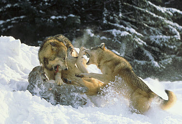 Timber Wolf (Canis lupus) trio fighting over a White-tailed Deer (Odocoileus virginianus) carcass, North America  -  Tim Fitzharris