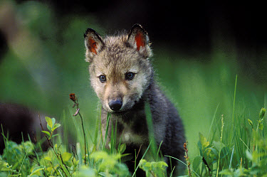 Timber Wolf (Canis lupus) pup chewing on green grass, North America  -  Tim Fitzharris