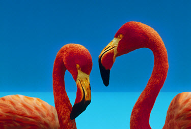 Greater Flamingo (Phoenicopterus ruber) courting pair, Caribbean species  -  Tim Fitzharris