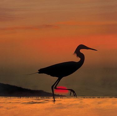Little Egret (Egretta garzetta) silhouetted at sunset, Africa  -  Tim Fitzharris