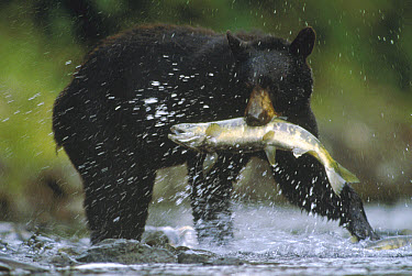 Black Bear (Ursus americanus) catching a salmon, Gunnuk Creek, Frederick Sound, Alaska  -  Tim Fitzharris