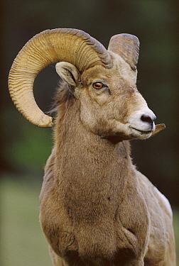 Bighorn Sheep (Ovis canadensis) male, Banff National Park, Alberta, Canada