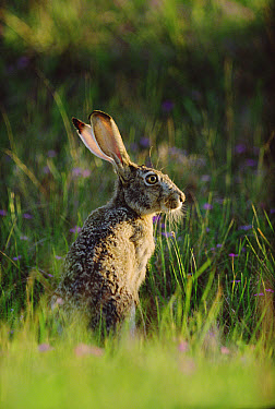 Black-tailed Jackrabbit (Lepus californicus) sunning itself in a field, North America  -  Tim Fitzharris