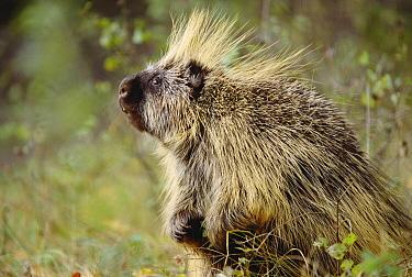 Common Porcupine (Erethizon dorsatum) portrait, Montana  -  Tim Fitzharris