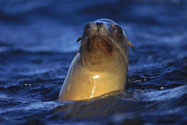 California Sea Lion (Zalophus californianus) looking around on surface, Baja California, Mexico  -  Tim Fitzharris