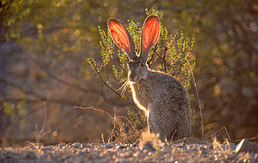 Black-tailed Jackrabbit (Lepus californicus) western North America  -  Tim Fitzharris