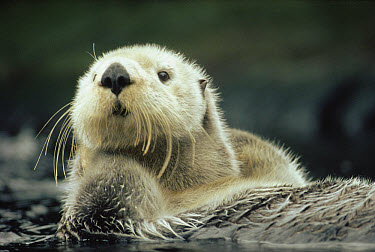 Sea Otter (Enhydra lutris) portrait, Vancouver Island, British Columbia, Canada  -  Tim Fitzharris
