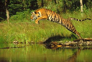 Siberian Tiger (Panthera tigris altaica) leaping across river, Asia  -  Tim Fitzharris