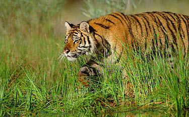 Siberian Tiger (Panthera tigris altaica) walking through tall grass along water's edge  -  Tim Fitzharris
