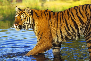 Siberian Tiger (Panthera tigris altaica) walking through shallow river, Asia