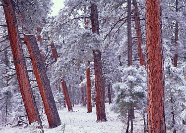 Ponderosa Pine (Pinus ponderosa) trees with snow, Grand Canyon National Park, Arizona