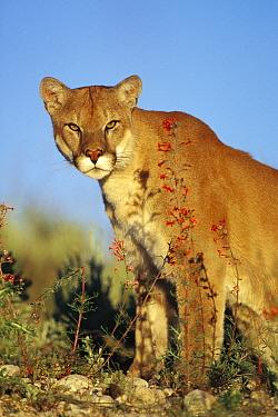 Mountain Lion (Puma concolor), North America