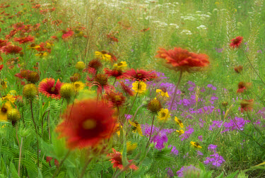 Gaillardia, coreopsis and pointed phlox, blowing in the wind, Texas  -  Tim Fitzharris
