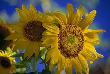 Common Sunflower (Helianthus annuus) close up, New Mexico  -  Tim Fitzharris