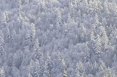 Winter forest, British Columbia, Canada  -  Tim Fitzharris