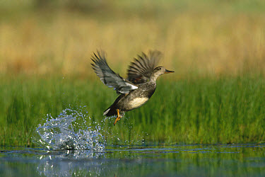 Gadwall (Anas strepera) female taking flight from water, New Mexico  -  Tim Fitzharris