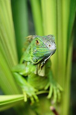 Green Iguana (Iguana iguana) portrait, Honduras  -  Tim Fitzharris
