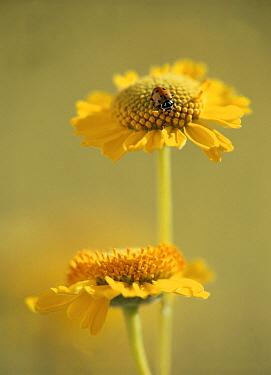Brittlebush (Encelia farinosa) blooms with Convergent Lady Beetle (Hippodamia convergens), North America  -  Tim Fitzharris