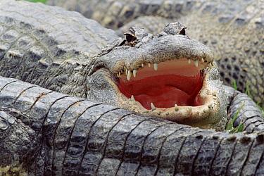American Alligator (Alligator mississippiensis), North America  -  Tim Fitzharris
