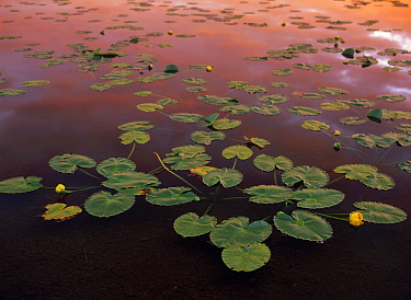 Lily pads and cloud reflection, Granadier Range, Molas Pass, Weminuche Wilderness, Colorado