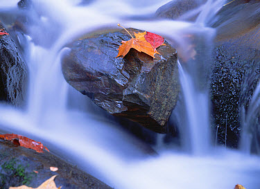 Autumn leaf on boulder, Little River, Great Smoky Mountains National Park, Tennessee  -  Tim Fitzharris