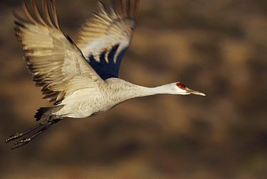 Sandhill Crane (Grus canadensis) flying, Bosque Del Apache, New Mexico  -  Tim Fitzharris